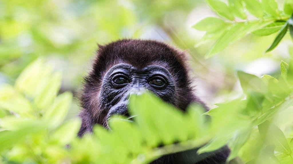 Upplev gorillor i djungeln i Rwanda.