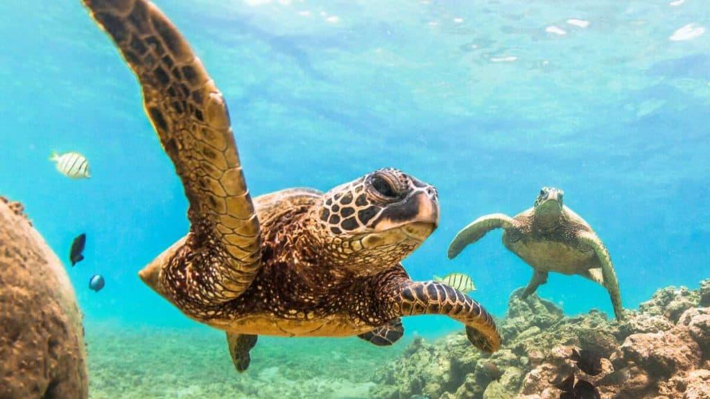 Simma med havssköldpaddor på Seychellerna.