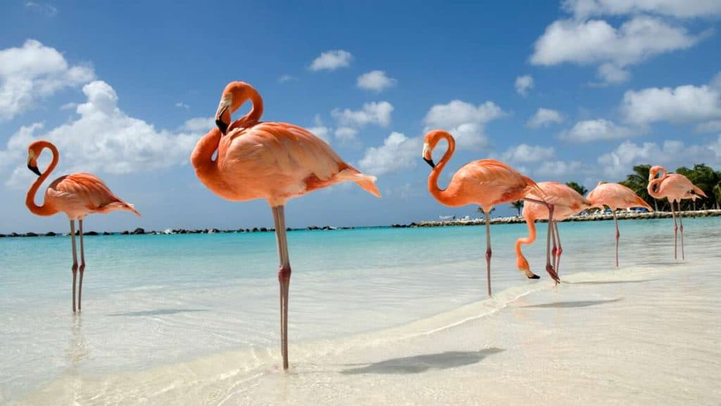 Flamingos på Renaissance Private Island utanför Aruba.