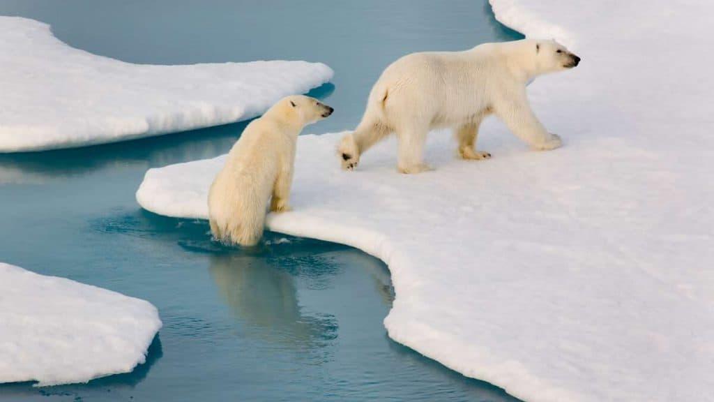 Nära djurlivet i Arktis.
