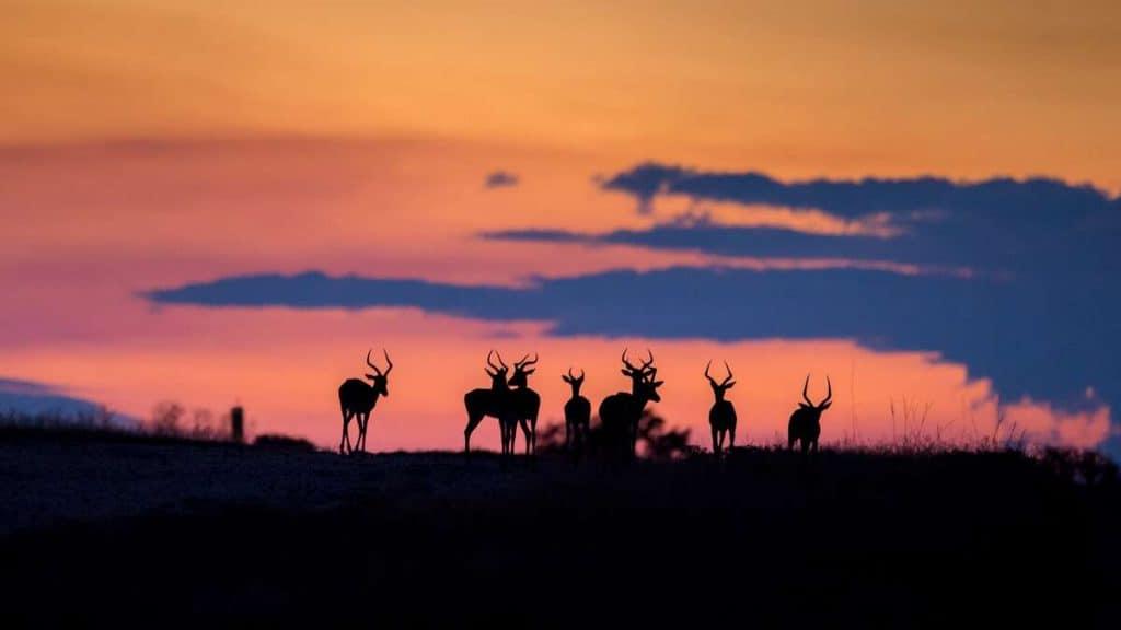 Impalor i solnedgången.