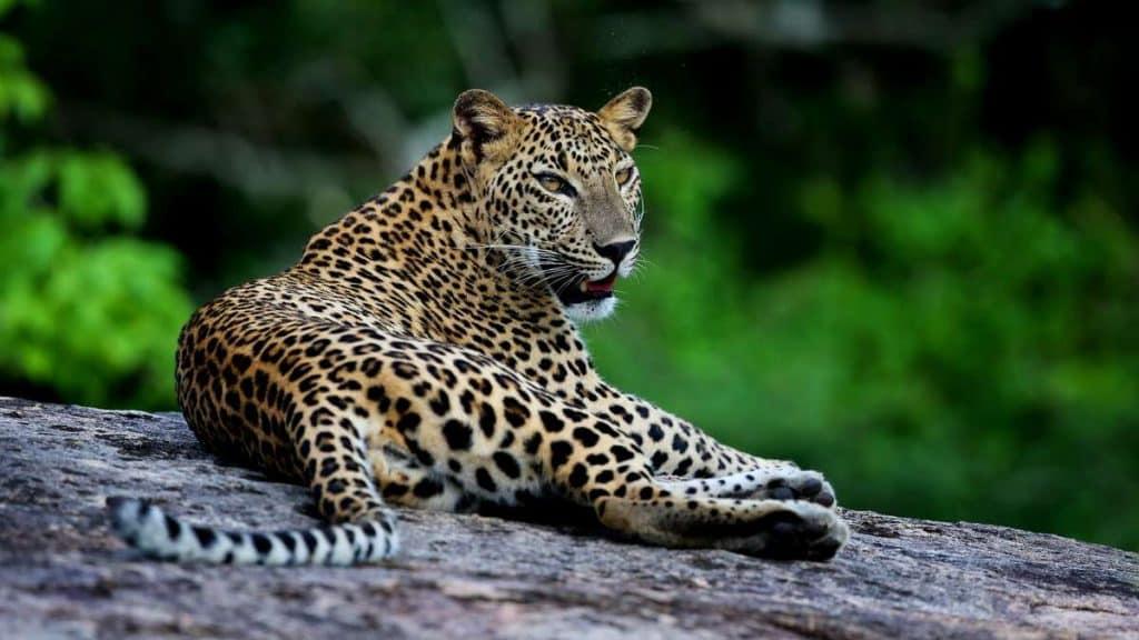 Yala National Park är känd för sitt stora bestånd av leoparder och andra vilda djur