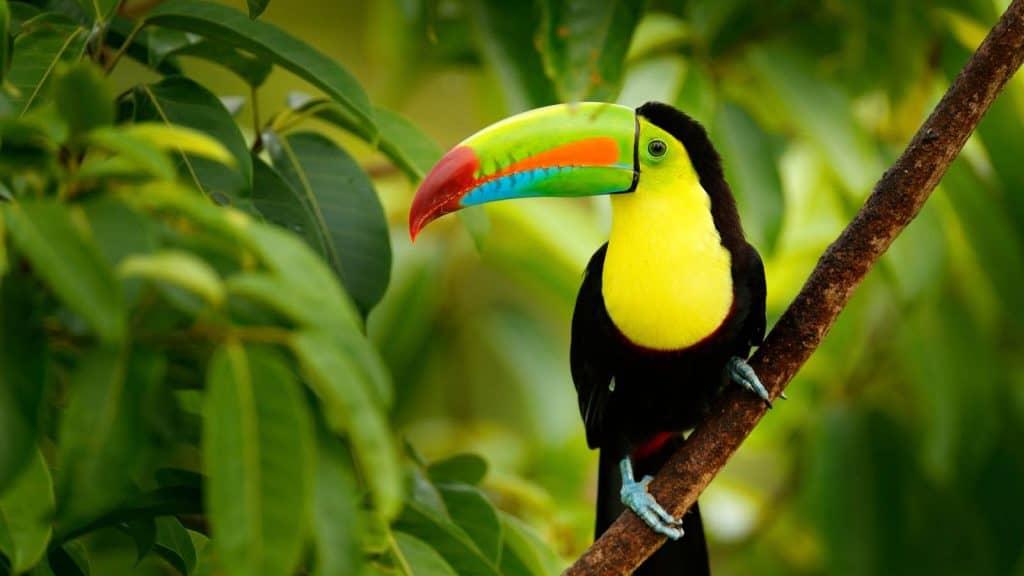 Tukan i Costa Rica.